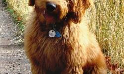 Living Streams Labradoodle Puppy