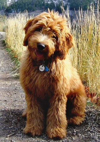 Living Streams Labradoodle Puppy